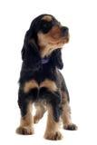 Puppy english cocker Royalty Free Stock Photos