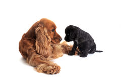 Puppy english cocker and adult Royalty Free Stock Photos