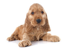 Puppy english cocker Stock Image