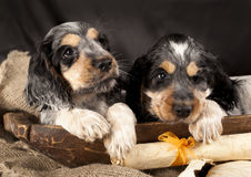 Puppy English cocker spaniel Stock Images