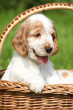 Puppy of English Cocker Spaniel in brown basket Stock Photos