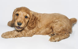 Puppy English Cocker Spaniel. Very cute playful puppy English Cocker Spaniel stock photo