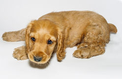 Puppy English Cocker Spaniel. Very cute playful puppy English Cocker Spaniel stock photography