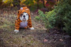 Puppy english french bulldog red white fur posing sit for camera in wild forest wearing casual clothes.Cute little bull dog walkin stock photography