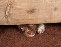 Puppy escape Royalty Free Stock Images