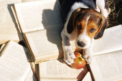 Puppy of Estonian hound on old open books Stock Photography