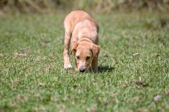 A puppy explores his new enviroment royalty free stock images
