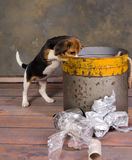 Puppy exploring garbage. Seven weeks old adorable little beagle puppy exploring a garbage can Stock Photography