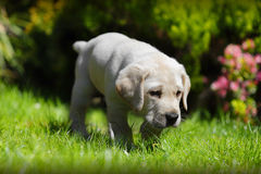Puppy exploring garden. Golden Labrador puppy dog exploring garden grass Stock Photos