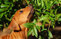 Puppy exploring nature. Head portrait of a cute little purebred Rhodesian Ridgeback hound dog puppy sniffing on green leaves of a bush outdoors in spring time Royalty Free Stock Images