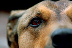 Puppy Eye. Detail shot of a dog's face Royalty Free Stock Image