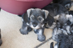 Puppy eyed miniature schnauzer. Miniature Schnauzer puppy with his litter next to the doggy bed Stock Photos