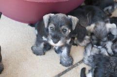 Puppy eyed miniature schnauzer Stock Photos