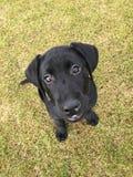 Puppy Eyes Royalty Free Stock Photos