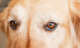 Puppy eyes Stock Images