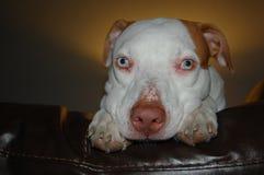 Puppy eyes Royalty Free Stock Image