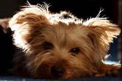 Puppy Eyes & Light. Close-up of a small Silky Terrier puppy with a serene expression, resting in shadow and light royalty free stock photos