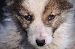 Puppy face. Face of blotched puppy clos-up Stock Image