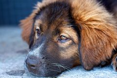 Puppy face. Close up photo of a puppy's face Stock Image