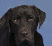 Puppy Face. Portrait of a Chocolate Lab Royalty Free Stock Photo
