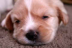 Puppy Face. A close up puppy face sleeping Stock Photography