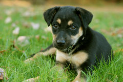 Puppy Face. Close up of adorable puppy in grass Royalty Free Stock Image