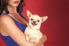 Puppy face with happy smile on red background. Chihuahua dog smiling in female hands. Protection, alertness, bravery. Pet, companion, friend, friendship royalty free stock images