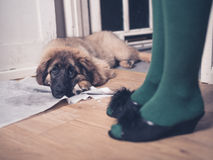 Puppy with face on pee pad. A young Leonberger puppy is lying on the floor with her head in her dirty training pad Stock Images