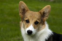 Puppy face. Face of welsh corgi puppy Stock Photo