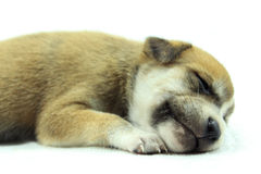 Puppy Falling Asleep Royalty Free Stock Photography