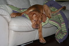 Puppy falling off couch. Dogue de bordeaux puppy falling of sofa Royalty Free Stock Image