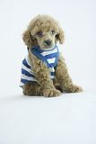 Puppy fashion. Lovely poodle puppy in fashion Royalty Free Stock Photo