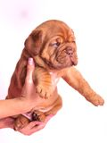 Puppy in female hands Stock Photography