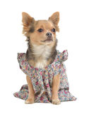 Puppy with feminine clothes Stock Photos