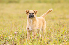 Puppy in field Royalty Free Stock Photo