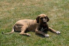 Puppy of Fila Brasileiro (Brazilian Mastiff) Royalty Free Stock Images