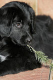 Puppy with fir branch Royalty Free Stock Photography