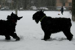 Puppy flirts to the mother. Giant Schnauzers. royalty free stock photography