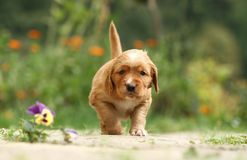 Puppy with flower. Small adorable puppy in the garden walking Royalty Free Stock Photos
