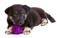Puppy with flower Stock Photography
