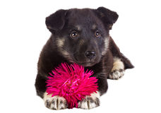 Puppy with flower Stock Image