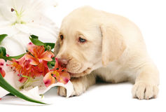 Puppy with a flower. Puppy, smelling flowers. Puppy labrador with flowers on a white background Stock Photos