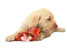 Puppy with a flower. Puppy Labrador with a lily on a white background. Portrait of puppy with a flower Royalty Free Stock Photos