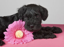 Puppy with flower Stock Images