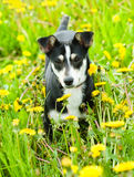 Puppy in flower field of yellow dandelions Stock Images