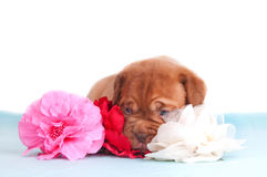 Puppy with Flowers Royalty Free Stock Photo