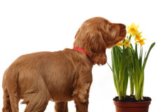 Puppy and flowers Stock Photography