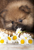 Puppy  and flowers Royalty Free Stock Images