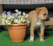Puppy and  flowers Royalty Free Stock Image