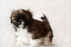 Puppy. The fluffy puppy costs on a gray background Stock Photo